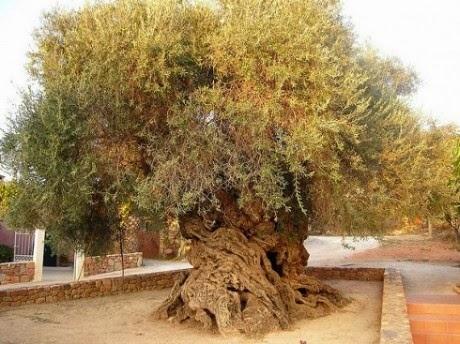 Elia Bouybon, Pohon Zaitun dari Vouves