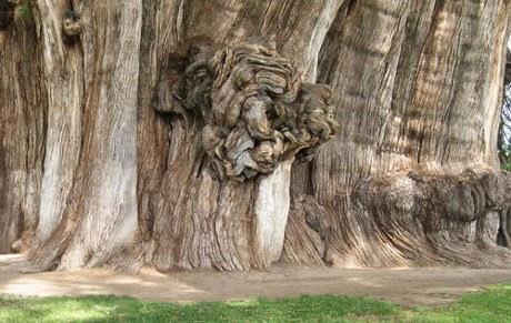 Pohon Tule