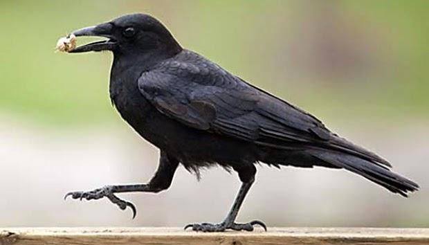 Kecerdasan Burung Gagak Didalam Alquran