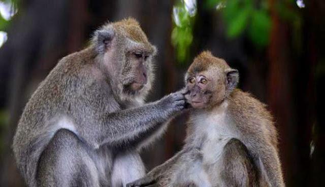 Kisah manusia dikutuk menjadi monyet