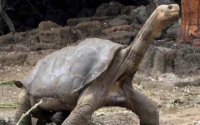 Lonesome George Kura Kura Raksasa Galapagos