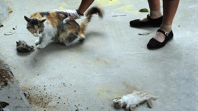 Mengharukan, Induk Kucing Ini Mencoba Membangunkan Anaknya yang Telah Mati