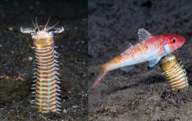 Cacing Bobbit, Si 'Monster' Dasar Laut yang Kejam