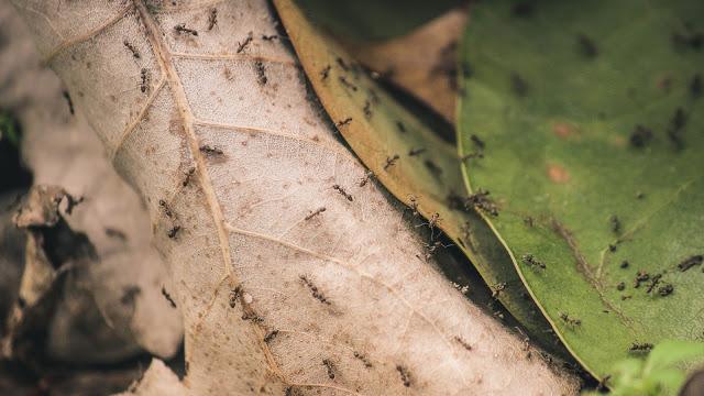 Cara Membasmi Semut Yang Ada Di Rumah