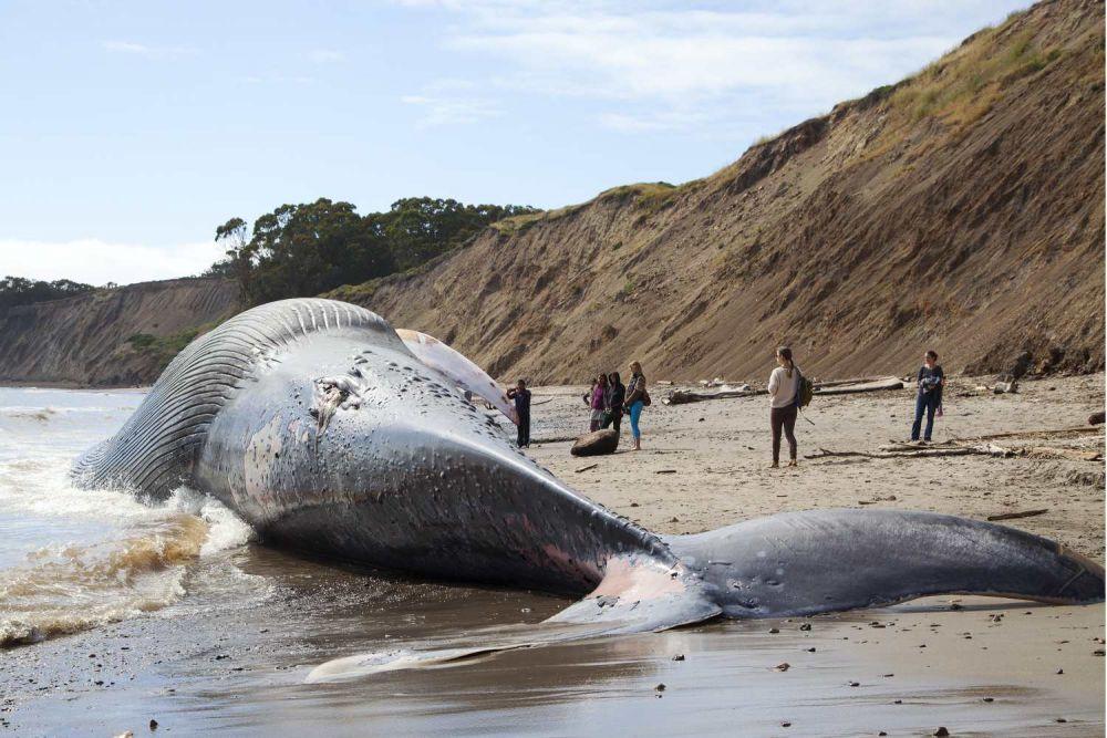 paus biru terdampar